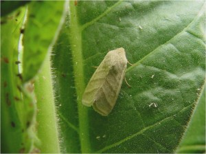 Cover photo for Tobacco Budworm Activity Beginning