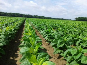 Cover photo for Questions About Tank Mixing Pesticides in Tobacco