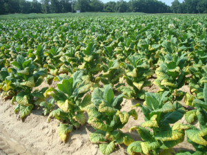 Cover photo for Potassium Fertility: An Overview of Nutrient Demand, Application Rates, and Deficiency