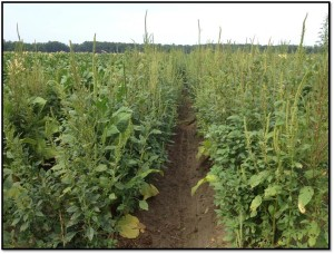 Cover photo for Layby Weed Control Options for Flue-Cured Tobacco Production