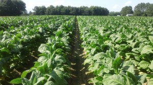 Cover photo for Tobacco Insect Scouting Report. June 26, 2014