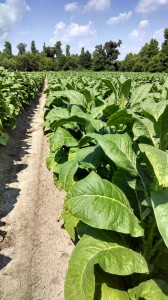 Cover photo for Tobacco Insect Scouting Report. June 20, 2014