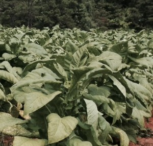 Cover photo for Tobacco Insect Scouting Report. August 29, 2014