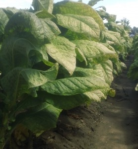 Cover photo for Tobacco Insect Scouting Report, September 5, 2014