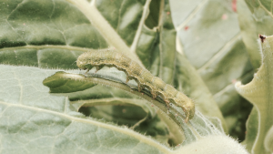 Cover photo for Tobacco Insect Scouting Report, July 10 2015