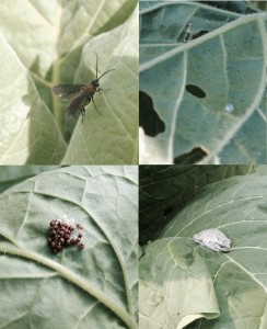 Cover photo for Tobacco Insect Scouting Report, July 3 2015