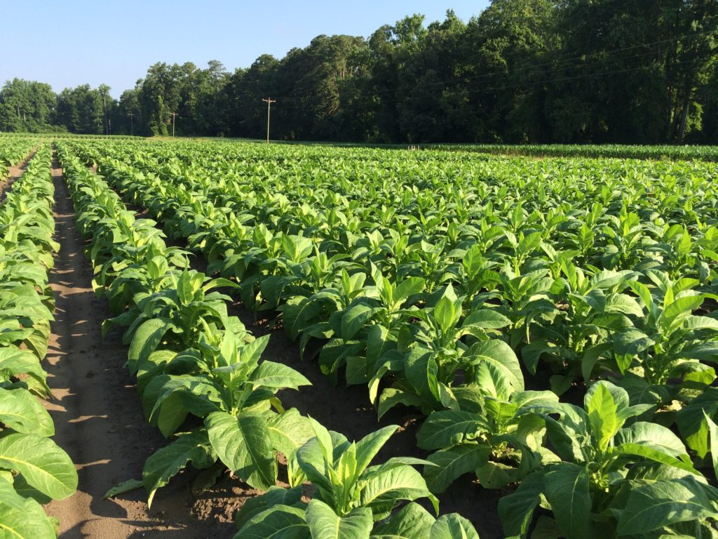 From the Field-Agronomy Notes: Vol. 2, Num. 1 | NC State ...
