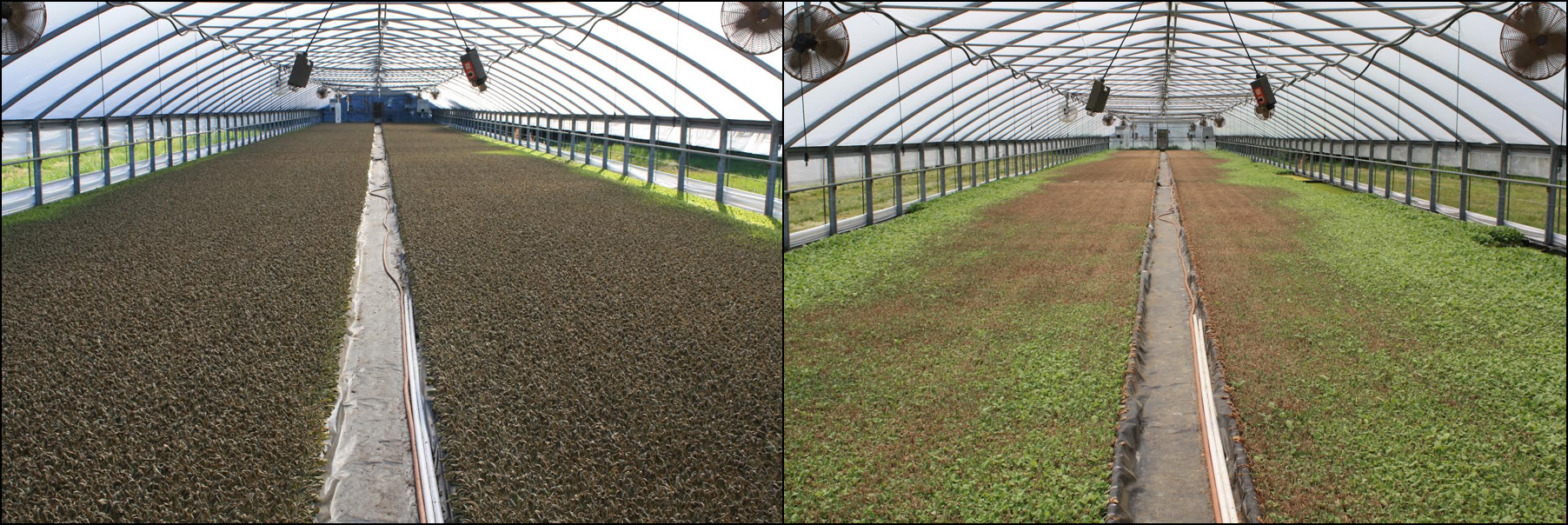 Figure 4a (left): Extreme heat injury after curtains failed to lower. Note that plans along the curtains are not injured, thus indicating that temperatures were moderated along the greenhouse wall. 4b (right): Seedling recovery from heat injury in the same house, green tissue growth is from suckers. All plants were unusable in this greenhouse.