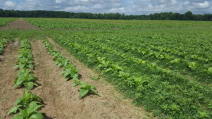 Cover photo for From the Field - Agronomy Notes: Vol. 2, Num. 4