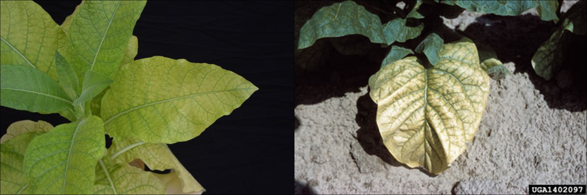"""Magnesium deficiency is characterized by chlorosis (yellowing) of lower, older leaves and will progress into mid-stalk positions if uncorrected. Magnesium deficiency is referred to as """"sand drowning"""" because it is more commonly observed in coarse, sandy soils."""