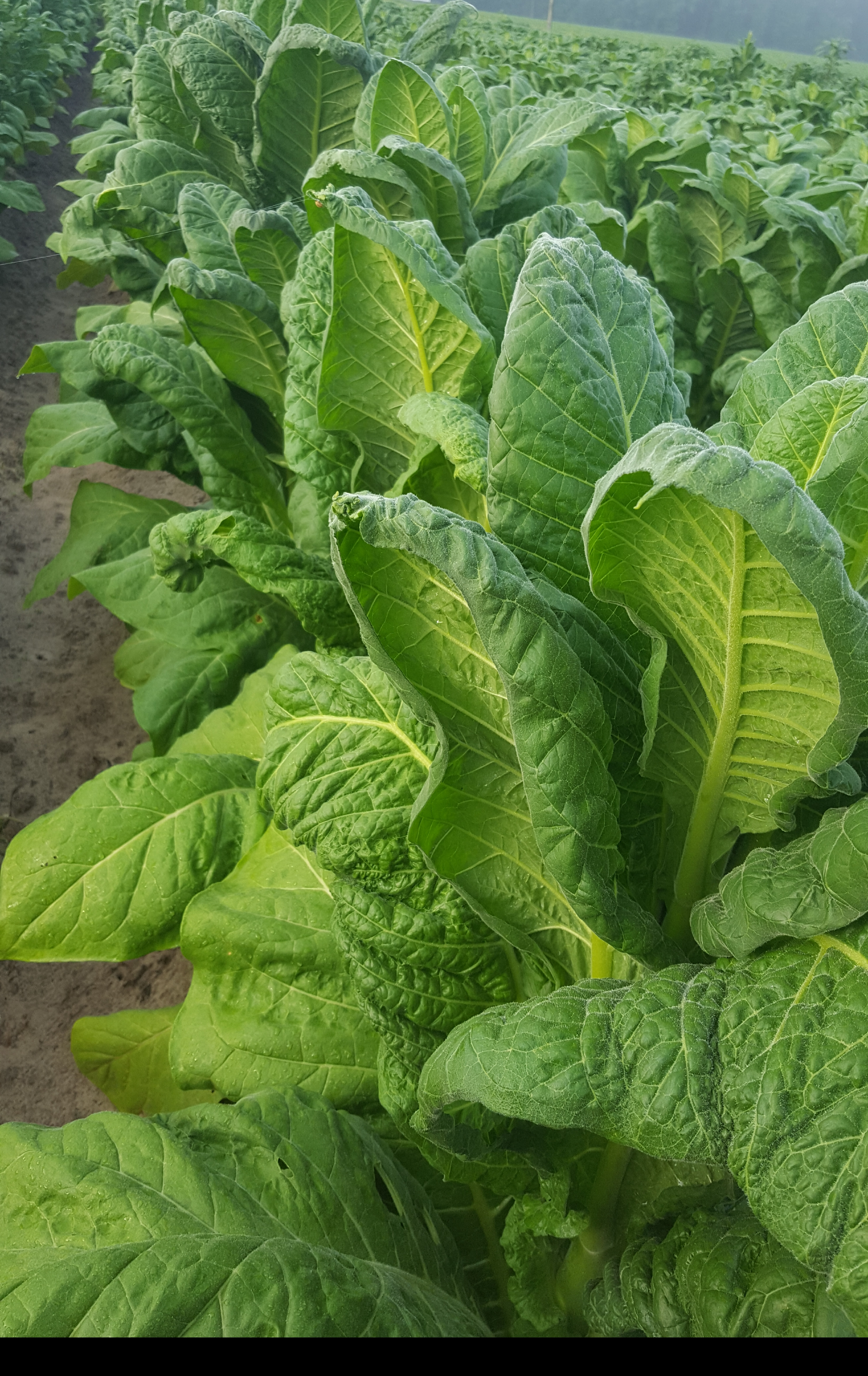 Signs of Dicamba drift on tobacco