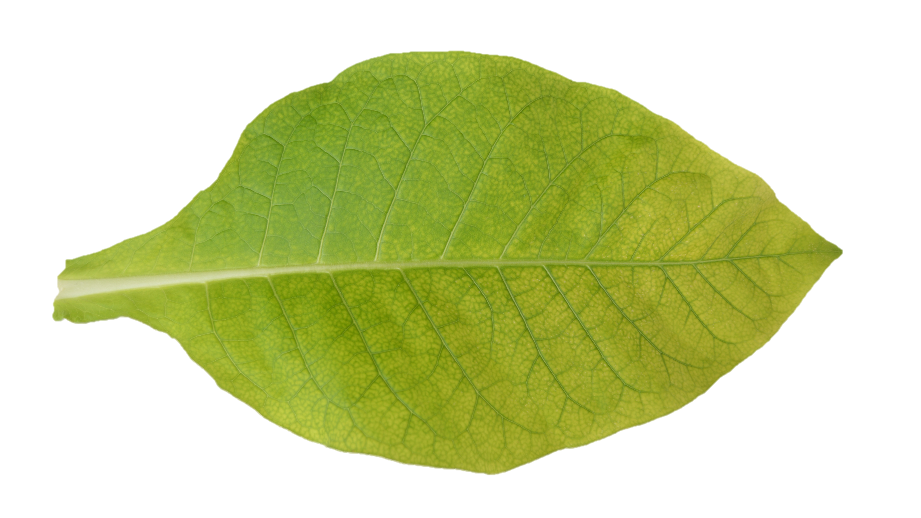 The pale netted pattern of chlorosis that occurs first on the upper foliage of manganese deficient plants.