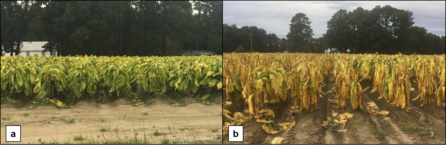 two photos of a tobacco field showing leaf deterioration within a 3 day interval after Hurricane Florence